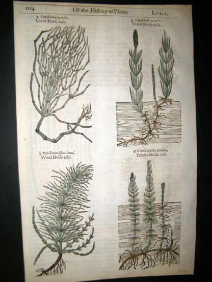 Gerards Herbal 1633 Hand Col Botanical Print. Equisetum, Horsetail | Albion Prints